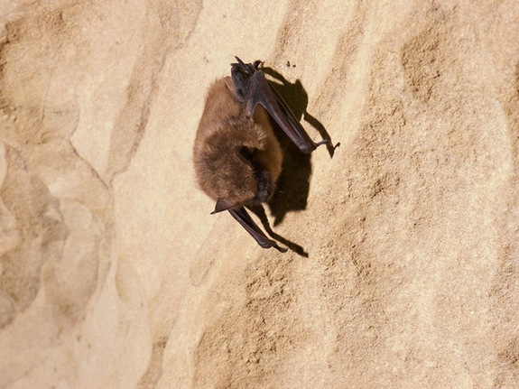 sleeping-brown-bat