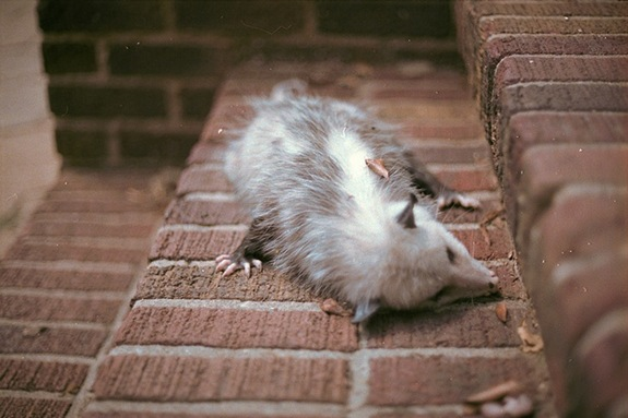 sleeping-opossum