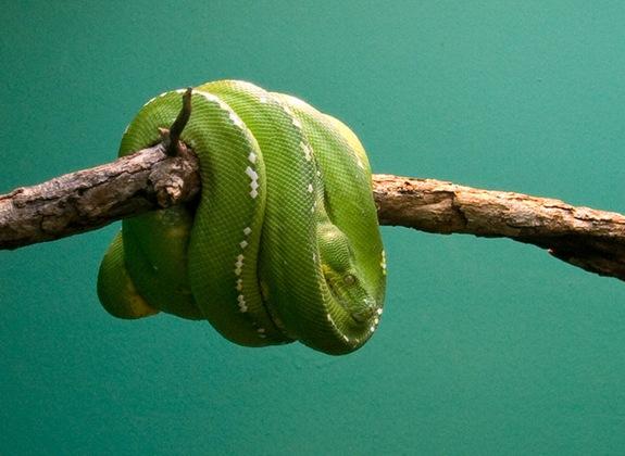 sleeping-python